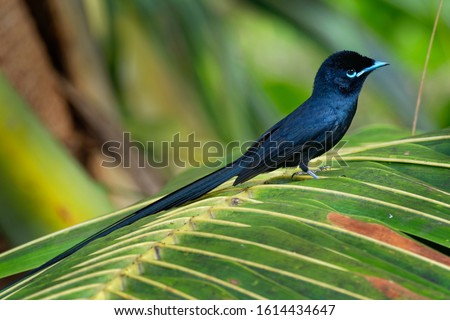 Seychelles paradise flycatcher - Terpsiphone corvina rare bird from Terpsiphone within the family Monarchidae, forest-dwelling bird endemic to the Seychelles island of La Digue. Stock photo ©