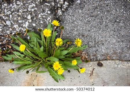 shabby asphalt , gunge yellow dandelion , flower background