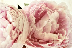 Shabby Chic Pink Peonies Flowers Background   - Old Fashioned Grunge  Vintage Photo