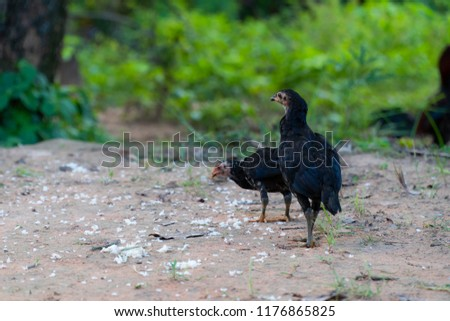 Shade and copy space of chick is pecking rice kernels on the floor in the countryside of Thailand. #1176865825