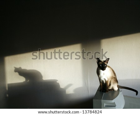 shade of the Siamese cat in dark room