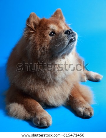 Shaded red chow chow #615471458