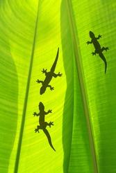 shadow of a gecko on a banana's leaf