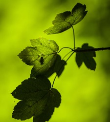Shadow of a housefly catching a ray of sunlight on a sycamore maple tree leaf in a forest.