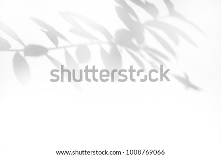 shadow of leaf tree on white wall - black and white gray background #1008769066