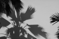 shadow of palm leaves on a concrete wall - monochrome