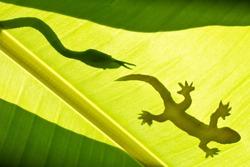 shadow of snake and gecko on banana's leaf.