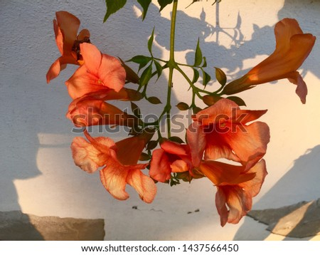 Shadow on the wall. Beautiful plant with big and orange petals. They are bicolor. There are some small and orange leaves. White and brown wall. Evening. Summer. Shoot captured in a town near the sea.