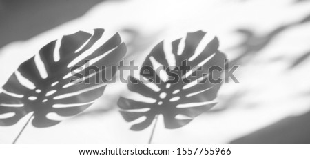 shadows monstera leaf on concrete textured wall surface background. White and Black tone