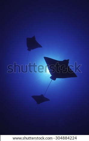 SHADOWS OF SPOTTED EAGLE RAY SWIMMING ON BLUE WATER #304884224