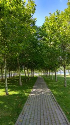 Shady esplanade lane lined by young, platan trees, planted in rows in green lawns. Gray brick paved lane bordered by young Platanus acerifolia trees planted in rows. Tree-lined,promenade paved pathway