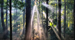 Shafts of morning light stream through a forest canopy.