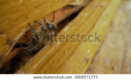 Shaggy bee on a wooden hive. Shaggy bee close up. Stock photo ©