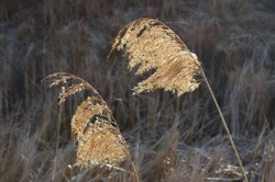 Shaggy dry yellowed inflorescence of reeds fluttering in the wind on a thin stalk against the reed thickets.