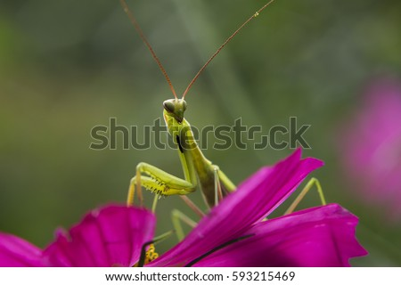Shallow depth of field captures a green Praying Mantis. Mantis in the garden sitting on a flower