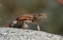 Shallow depth of field close up of Western Side-Blotched Lizard ,Uta stansburiana elegans doing push-ups on a rock