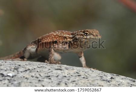 Shallow depth of field close up of Western Side-Blotched Lizard ,Uta stansburiana elegans doing push-ups on a rock                                Stock fotó ©