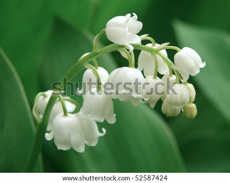 shallow DOF flowering lily of the valley
