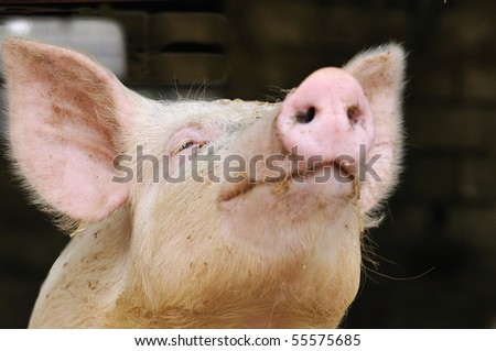 shallow DOF portrait of a young pig begging for a kiss (or food?) (focus on eye)