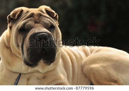 shallow dof portrait of sable horse-coat pure-bred Shar Pei dog, focus on muzzle ストックフォト ©