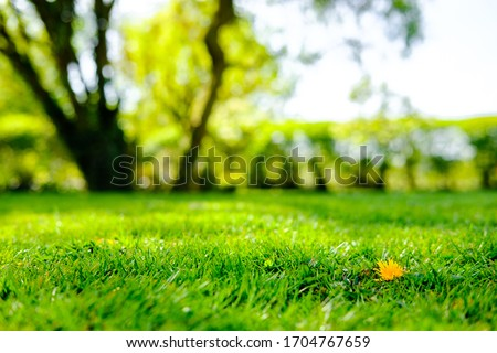 Shallow focus, ground level view of a solitary dandelion flower seen in a lush, recently mowed lawn.