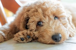 Shallow focus on the eyes of a beautiful pedigree miniature poodle puppy. Seen sulking under a kitchen table on the cool floor tiles.