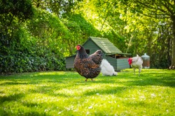 Shallow, ground level view of an adult Wyandotte hen having left the distant chicken house after laying her egg. Seen with a small, free range flock kept for there eggs in a garden.