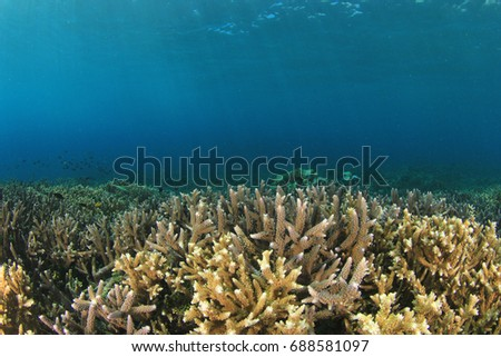 Shallow reef of hard corals underwater. Reefs like this at risk from climate change