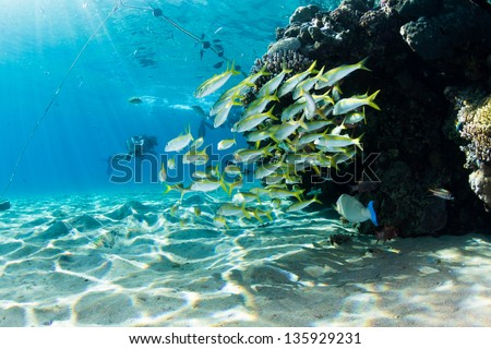 Shallow reef underwater of Red Sea full of life with silhouette scuba divers in distance / Shallow Reef