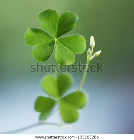Shamrock-Three leaf clover