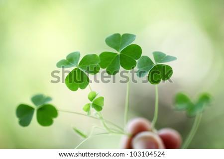 Shamrock,three leaf clovers