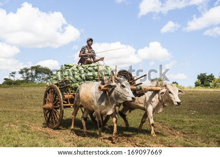 SHAN STATE, MYANMAR - NOVEMBER 1:Farmers  sit on top of the load as they carry the cabbage crop from fields to market by ox and cart November 1,2013 in the Shan State, Myanmar.