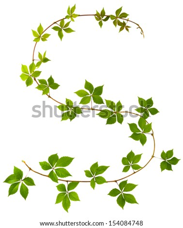 shape of S letter twig wild grape with green leaves on a white background