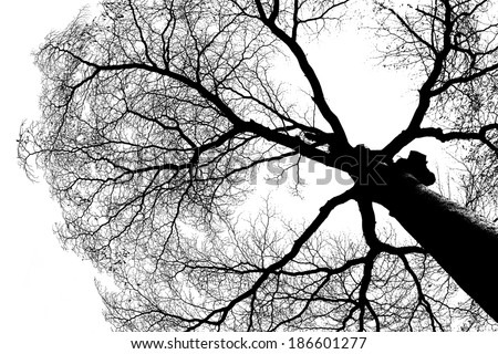 Shape of Silhouette Tree with few detail at trunk. Line and Structure only branch and twig.Tree leaf out.Worm\'s eye view shot.