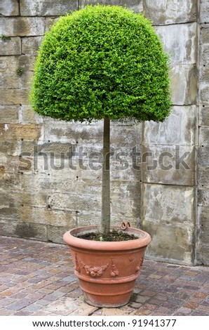 shaped box tree in pot. boxwood - stock photo