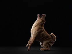 Shar Pei dog barks. folds, wrinkles, charming pet