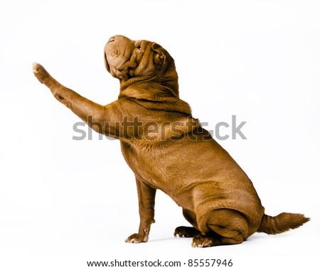 Shar pei dog breed