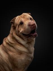 Shar Pei dog on a background on black. folds, wrinkles, charming pet