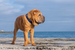 Shar Pei dog stands on the sea on the pier on the beach. Copy space.