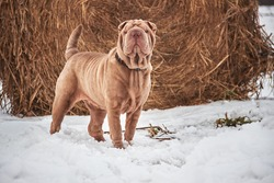 Shar pei dog walking in the fields in the snow near a large haystack  in winter, close-up