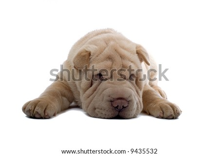 Shar Pei puppy Photo stock ©