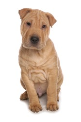 Shar Pei puppy dog isolated on a white background