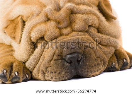 shar-pei puppy laid down isolated on white background