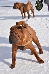 Shar Pei's quick reaction to the photographer