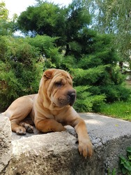 Shar Pei sitting on a rock, and looking beautiful.