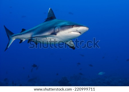 shark attack underwater in the deep blue sea #220999711