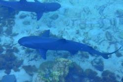 shark cubs on the high seas
