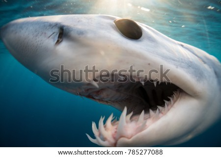 Stock Photo Shark diving in the Sea of Cortez with a Mako Shark of the coast of Cabo San Lucas, Mexico