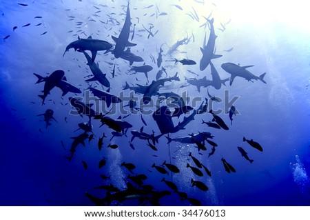 Shark feeding frenzy.