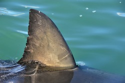 Shark fin above water. Close up.  Back Fin of great white shark, Carcharodon carcharias, False Bay, South Africa, Atlantic Ocean